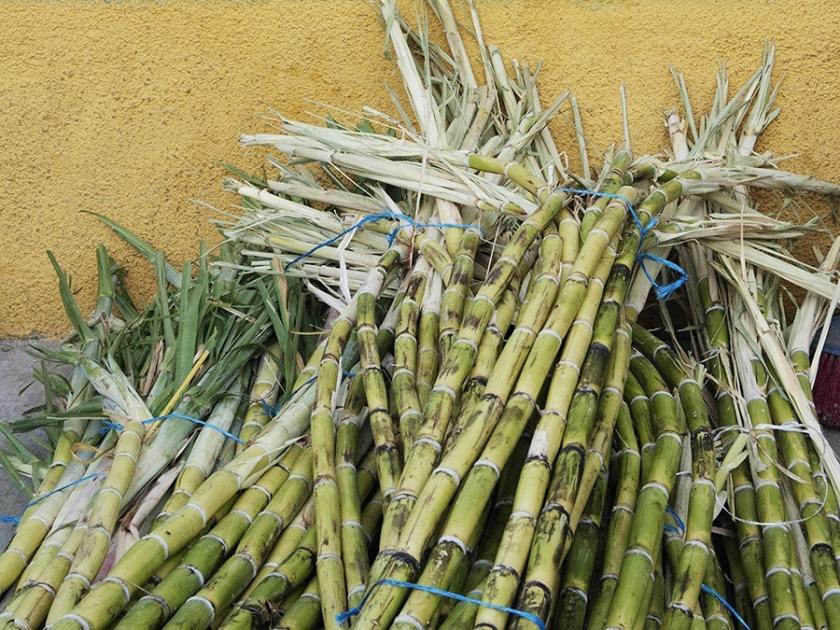 Cana-de-açúcar uma cultura que une o Brasil João Guilherme Sabino Ometto